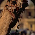 Camel In India by Travel Pics