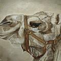 Camel Portrait by Angeles M Pomata