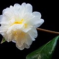 Camelia Trio by Laurie Paci