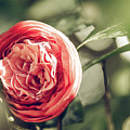 Camellia 3 by Andrea Anderegg