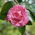 Camellia Hybrid by Isabela and Skender Cocoli
