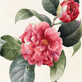 Camellia by Louise D'Orleans