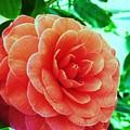 Camellia by Nereida Slesarchik Cedeno Wilcoxon