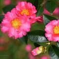 Camellia Pink by Deborah Benoit