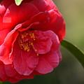 Camellia Rosette by Maria Urso