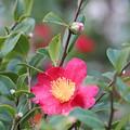 Camellia Sasanqua Yuletide by Marta Robin Gaughen