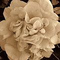 Camellia Sepia by Susanne Van Hulst