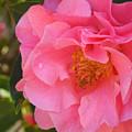 Camellias Of The South by Jan Gelders