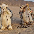 Camels by FL collection