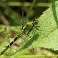 Cameo Green Dragonfly by Michael Peychich