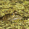 Camo Frog by Mike Fitzgerald