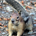 Campground Chipmunk by Carol Groenen