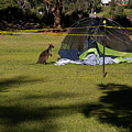 Camping With Swamp Wallaby by Miroslava Jurcik