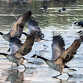 Canada Geese 1390-011618-1 by Tam Ryan