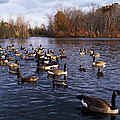 Canada Geese Branta Canadensis by Panoramic Images