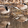 Canada Geese  by Edward Peterson