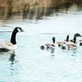 Canada Geese Family by Jim And Emily Bush