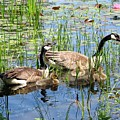 Canada Geese Family on Lily Pond
