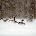 Canada Geese Feeding In Winter by  Onyonet  Photo Studios