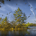 Canada Geese Flying By A Small Island On Hall Lake by Randall Nyhof