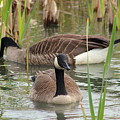 Canada Geese In Pond by Anita Hiltz