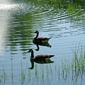 Canada Geese Swimming By Fountain by Jeanne Kay Juhos