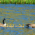 Canada Geese With 5 Goslings by Marilyn Burton