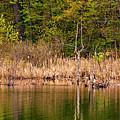 Canada Goose Couple by Steve Harrington
