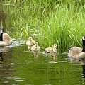 Canada Goose Family 2 by Sharon Talson