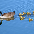 Canada Goose Family by Sharon Talson