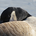 Canada Goose Head by Mary Mikawoz
