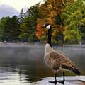 Canada Goose by Oleksiy Maksymenko