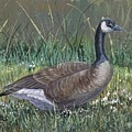 Canada Goose by Peggy Conyers