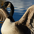 Canada Goose Spreading The Wings by Merrimon Crawford