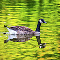 Canada Goose Swimming In A Pond by Leslie Banks
