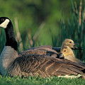 Canada Goose With Goslings by Alan and Sandy Carey and Photo Researchers