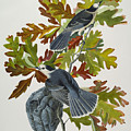 Canada Jay by John James Audubon