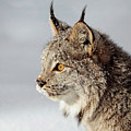 Canada Lynx Up Close by Wes and Dotty Weber