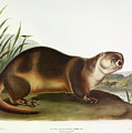 Canada Otter by John James Audubon