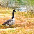 Canadian Geese 6 by Jeelan Clark