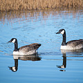 Canadian Geese Couple by Dianne Phelps