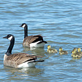 Canadian Geese Family Vacation by Sheila Fitzgerald