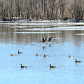 Canadian Geese In Flight by Sharon Weiss