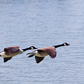 Canadian Geese In Flight by SR Green