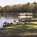 Canadian Geese On The Lakeshore In Autumn by MM Anderson