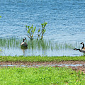Canadian Geese - Wichita Mountains - Oklahoma by Debra Martz