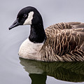Canadian Goose At Rio by Don Johnson
