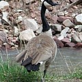 Canadian Goose By The River by Tina Barnash