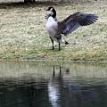 Canadian Goose by Carolyn Postelwait