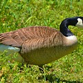 Canadian Goose by Eileen Brymer